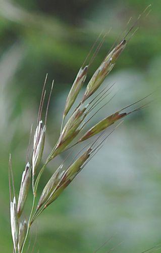 gastein im bild   archiv pflanzen   helictotrichon